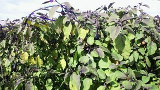 試験場 サラダ紫.jpg