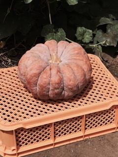 かぼちゃ内藤.JPG