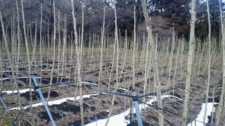 タラの芽の畑.jpg
