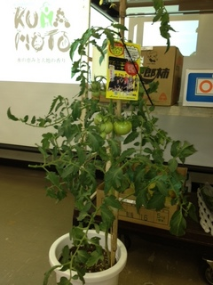 トマト鉢植え.JPG