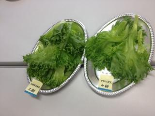 フリルレタス 食べ比べ.JPG